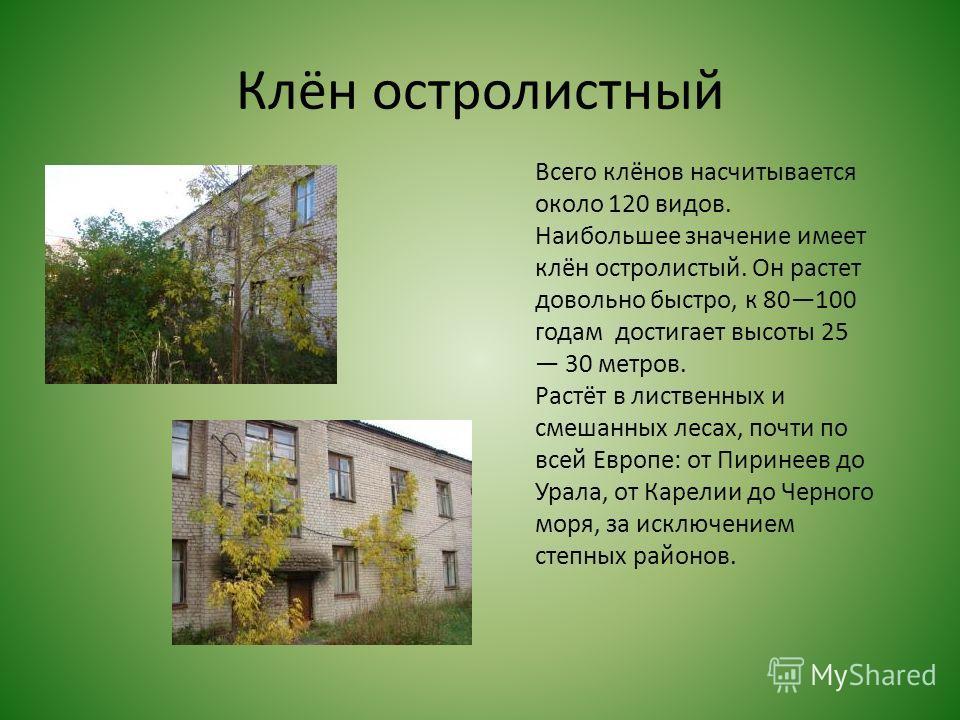 Клён остролистный Всего клёнов насчитывается около 120 видов. Наибольшее значение имеет клён остролистый. Он растет довольно быстро, к 80100 годам достигает высоты 25 30 метров. Растёт в лиственных и смешанных лесах, почти по всей Европе: от Пиринеев