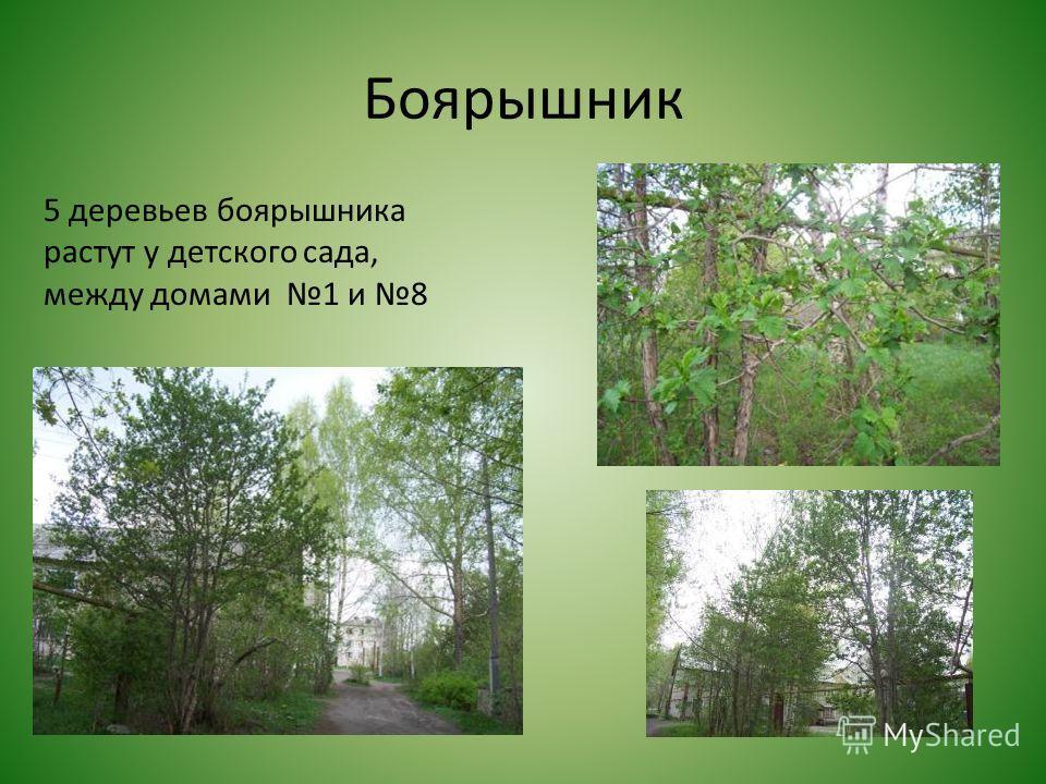 Боярышник 5 деревьев боярышника растут у детского сада, между домами 1 и 8