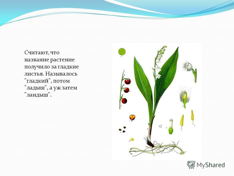Считают, что название растение получило за гладкие листья. Называлось гладкий, потом ладыш, а уж затем ландыш.