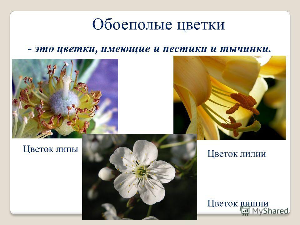 Обоеполые цветки - это цветки, имеющие и пестики и тычинки. Цветок липы Цветок лилии Цветок вишни