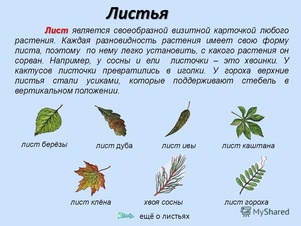 Листья Лист Лист является своеобразной визитной карточкой любого растения. Каждая разновидность растения имеет свою форму листа, поэтому по нему легко установить, с какого растения он сорван. Например, у сосны и ели листочки – это хвоинки. У кактусов