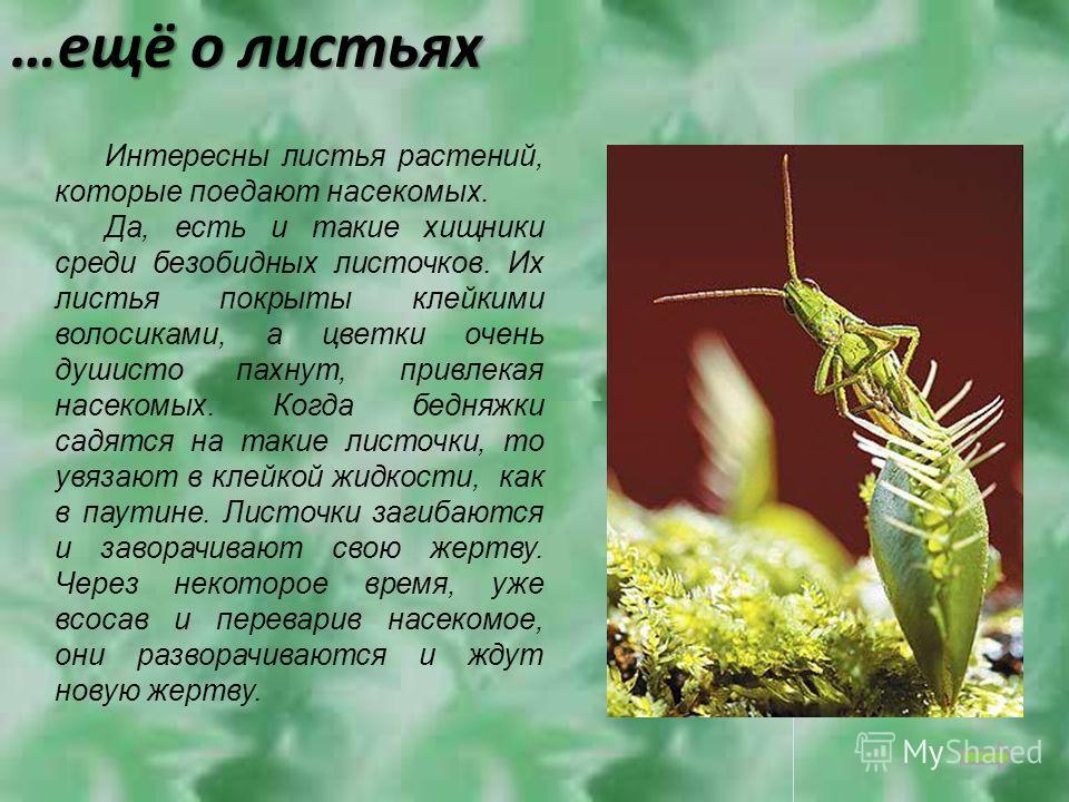 …ещё о листьях Интересны листья растений, которые поедают насекомых. Да, есть и такие хищники среди безобидных листочков. Их листья покрыты клейкими волосиками, а цветки очень душисто пахнут, привлекая насекомых. Когда бедняжки садятся на такие листо