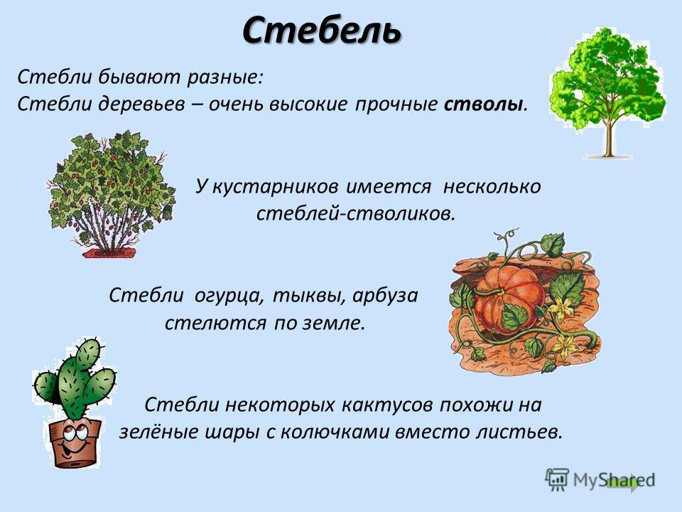 Стебли бывают разные: Стебли деревьев – очень высокие прочные стволы. У кустарников имеется несколько стеблей-стволиков. Стебли огурца, тыквы, арбуза стелются по земле. Стебли некоторых кактусов похожи на зелёные шары с колючками вместо листьев. Стеб