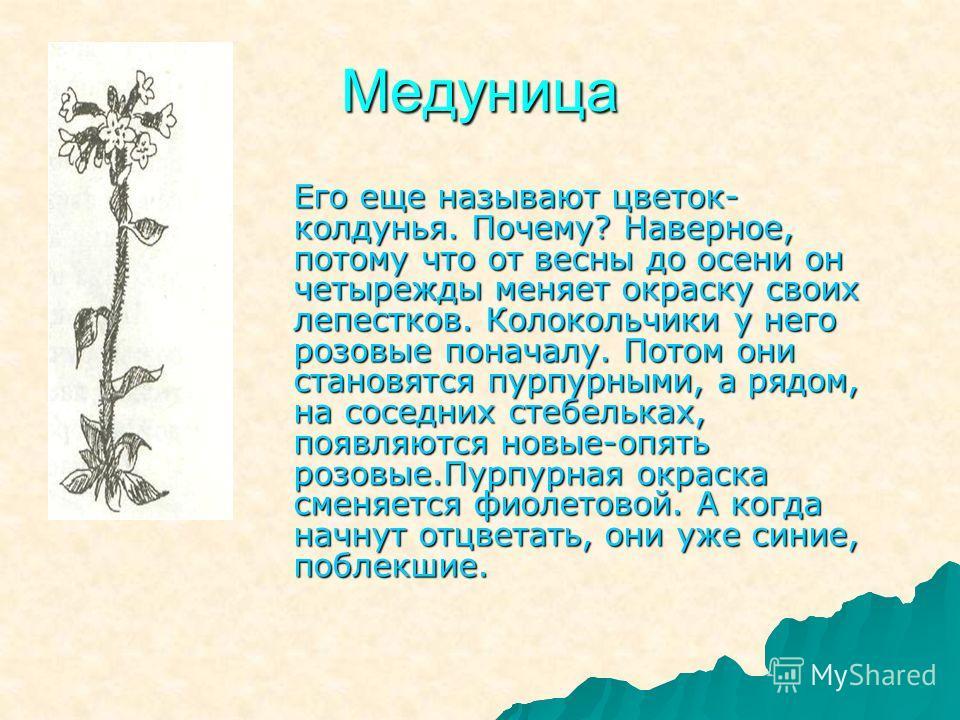 Медуница Его еще называют цветок- колдунья. Почему? Наверное, потому что от весны до осени он четырежды меняет окраску своих лепестков. Колокольчики у него розовые поначалу. Потом они становятся пурпурными, а рядом, на соседних стебельках, появляются