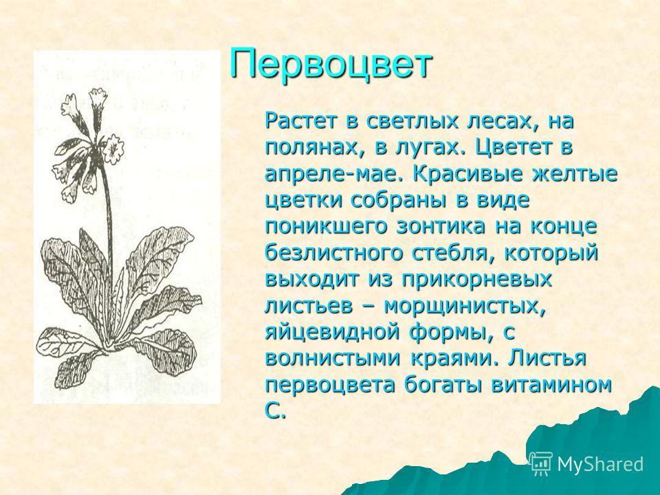Первоцвет Растет в светлых лесах, на полянах, в лугах. Цветет в апреле-мае. Красивые желтые цветки собраны в виде поникшего зонтика на конце безлистного стебля, который выходит из прикорневых листьев – морщинистых, яйцевидной формы, с волнистыми края