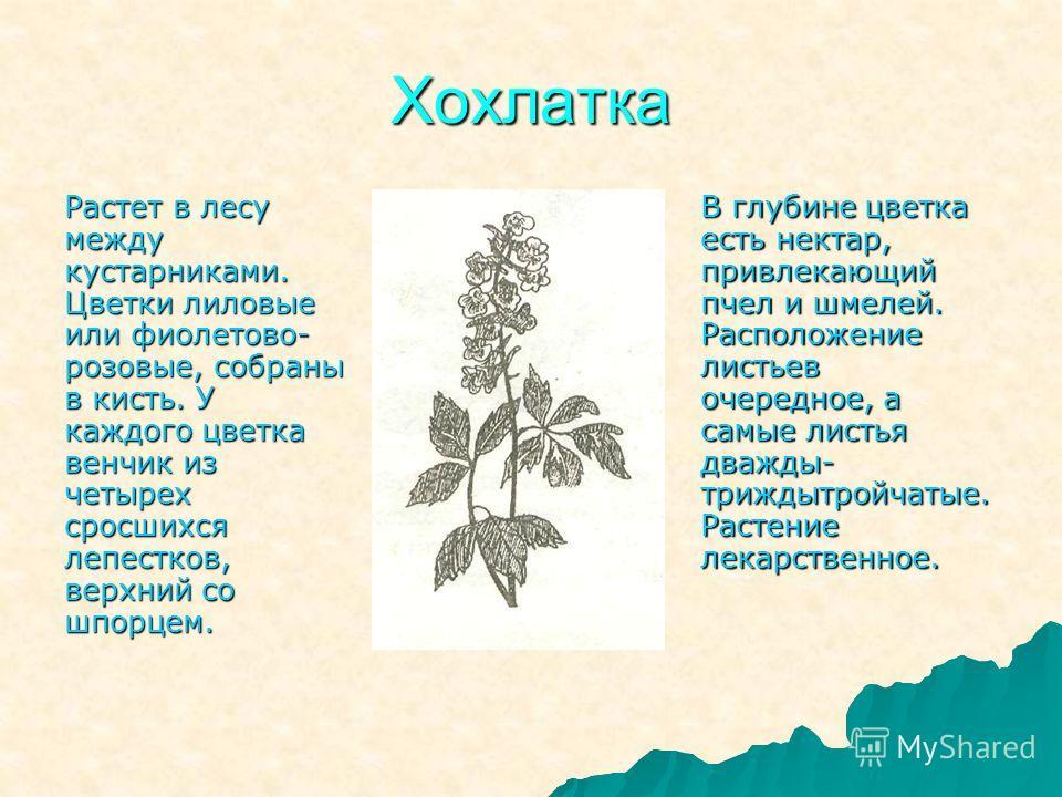Хохлатка Растет в лесу между кустарниками. Цветки лиловые или фиолетово- розовые, собраны в кисть. У каждого цветка венчик из четырех сросшихся лепестков, верхний со шпорцем. В глубине цветка есть нектар, привлекающий пчел и шмелей. Расположение лист
