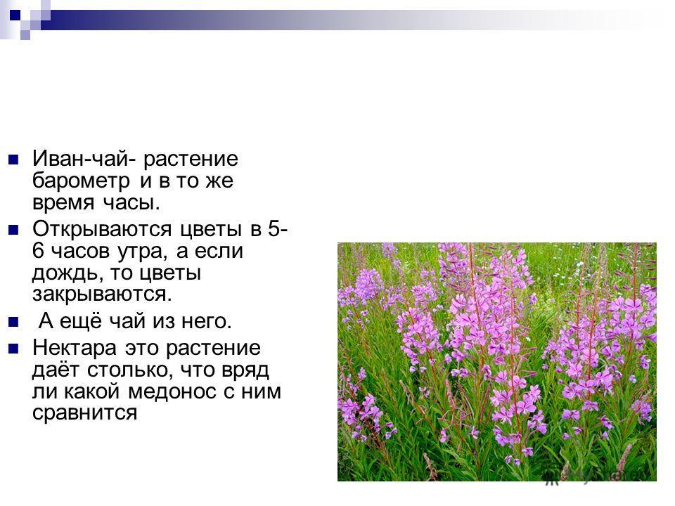 Помогают определить погоду и цветки одуванчиков. Если в солнечную погоду одуванчики закрываются – будет дождь, если небо затянуто тучами, а цветки одуванчиков открыты – дождя не будет