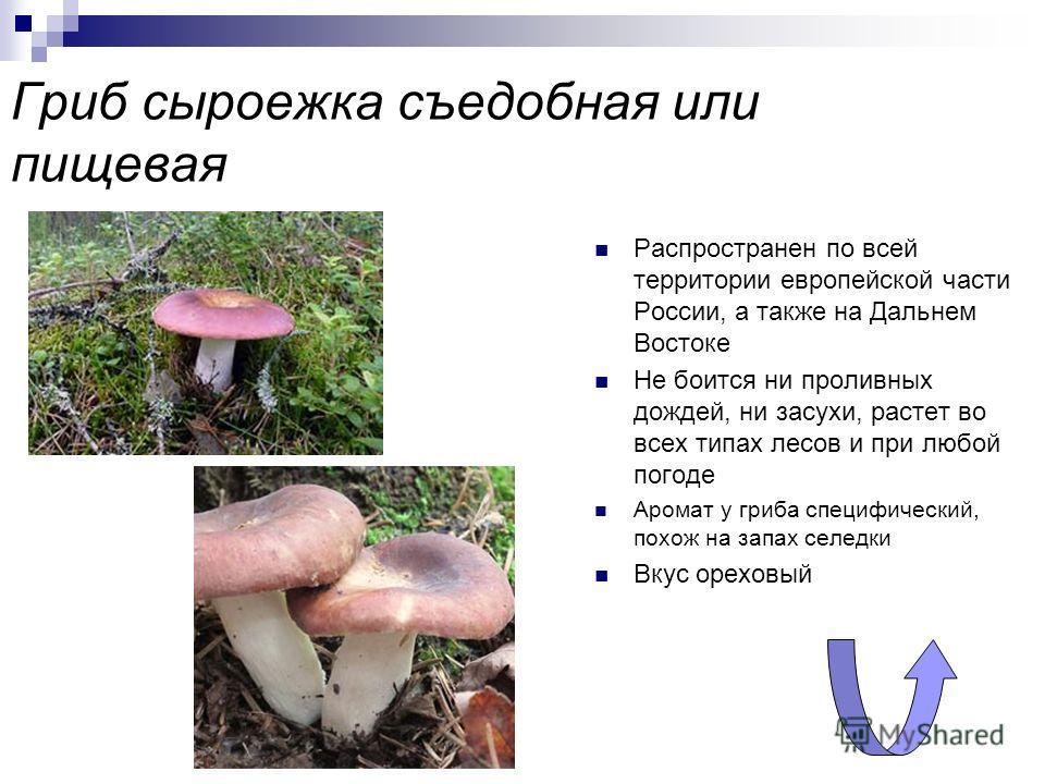 Рыжик настоящий или деликатесный Основными местами произрастания являются горные хвойные леса Сибири, Урала и европейской части России. Обладает очень приятным фруктовым запахом, очень вкусный, входит в категорию самых вкусных грибов