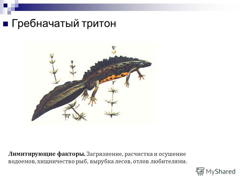 Рептилии Сибирский углозуб Лимитирующие факторы. Малочисленность пригодных биотопов на границе ареала, загрязнение водоемов, обработка лесов ядохимикатами.