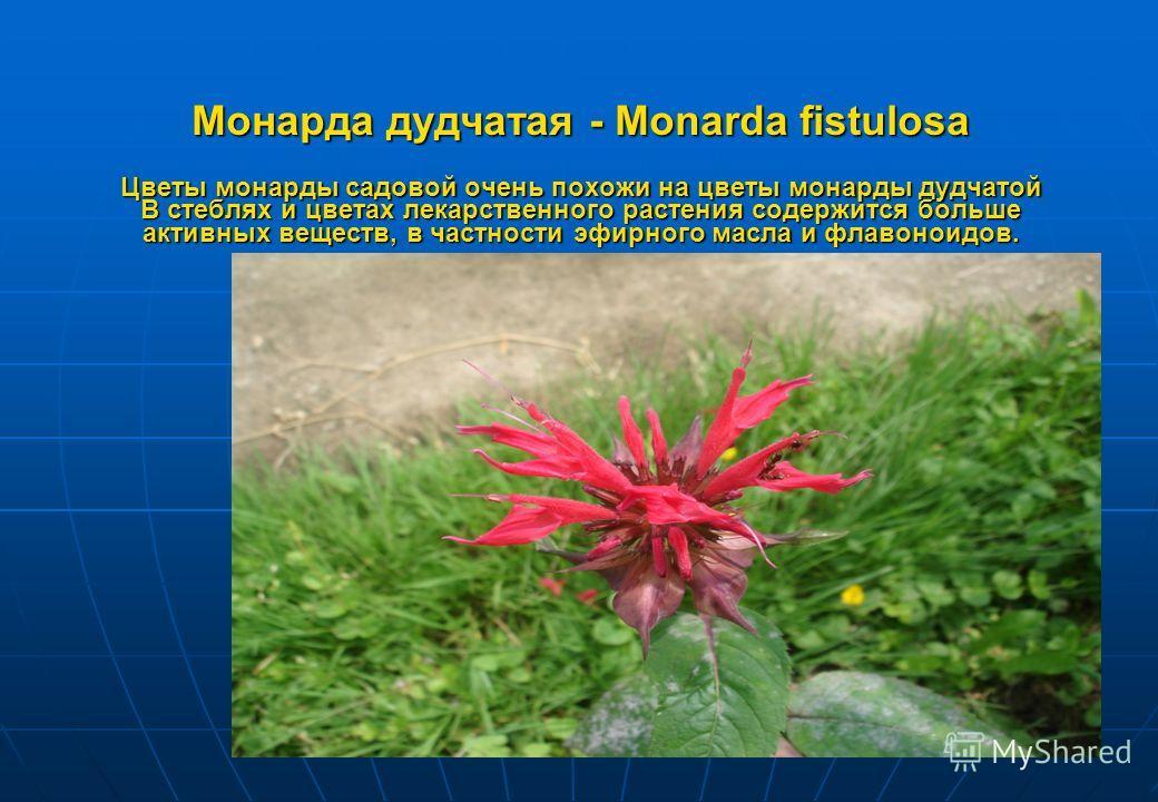 Монарда дудчатая - Monarda fistulosa Цветы монарды садовой очень похожи на цветы монарды дудчатой В стеблях и цветах лекарственного растения содержится больше активных веществ, в частности эфирного масла и флавоноидов. Цветок монарды садовой напомина