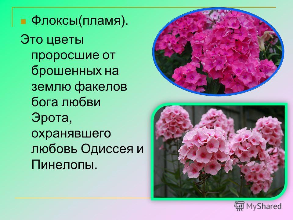 Флоксы(пламя). Это цветы проросшие от брошенных на землю факелов бога любви Эрота, охранявшего любовь Одиссея и Пинелопы.