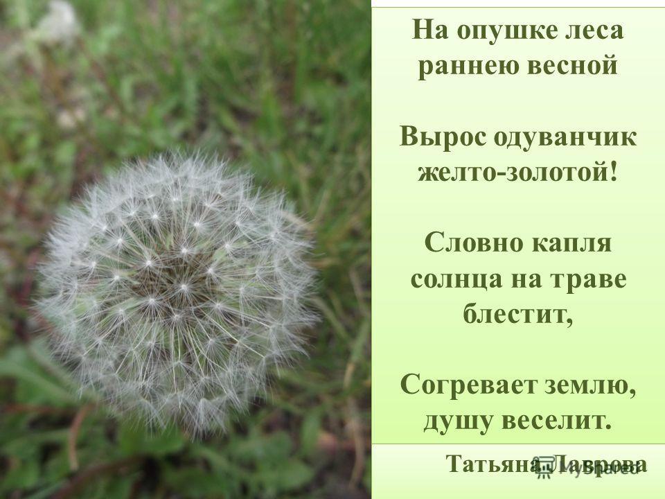 На опушке леса раннею весной Вырос одуванчик желто-золотой! Словно капля солнца на траве блестит, Согревает землю, душу веселит. На опушке леса раннею весной Вырос одуванчик желто-золотой! Словно капля солнца на траве блестит, Согревает землю, душу в