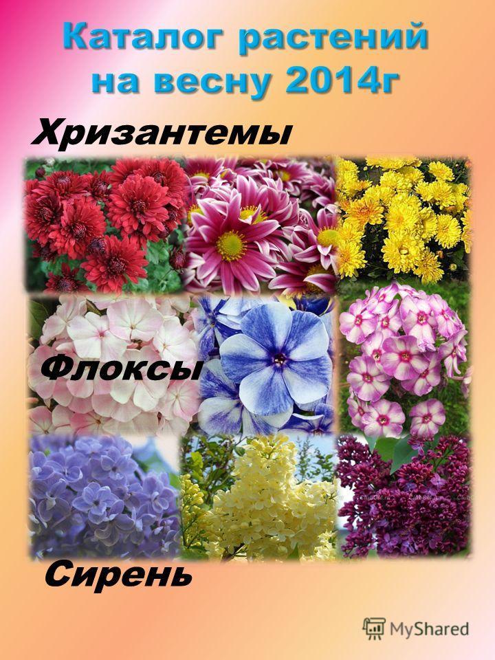 Хризантемы Флоксы Сирень