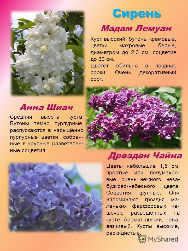 Сирень Мадам Лемуан Анна Шиач Дрезден Чайна Куст высокий, бутоны кремовые, цветки махровые, белые, диаметром до 2,3 см, соцветие до 30 см. Цветёт обильно в поздние сроки. Очень декоративный сорт. Средняя высота куста. Бутоны темно пурпурные, распуска