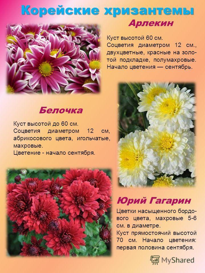 Корейскиехризантемы Корейские хризантемы Арлекин Белочка Юрий Гагарин Куст высотой 60 см. Соцветия диаметром 12 см., двухцветные, красные на золо- той подкладке, полумахровые. Начало цветения сентябрь. Куст высотой до 60 см. Соцветия диаметром 12 см,