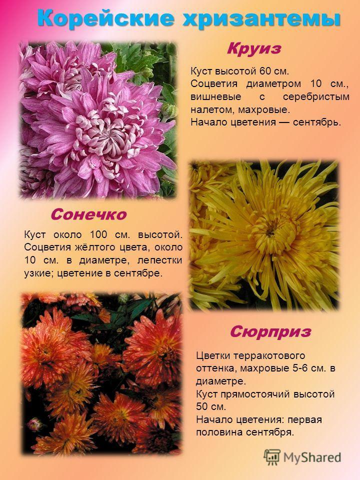 Корейскиехризантемы Корейские хризантемы Круиз Сонечко Сюрприз Куст около 100 см. высотой. Соцветия жёлтого цвета, около 10 см. в диаметре, лепестки узкие; цветение в сентябре. Цветки терракотового оттенка, махровые 5-6 см. в диаметре. Куст прямостоя