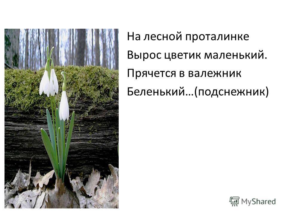 На лесной проталинке Вырос цветик маленький. Прячется в валежник Беленький…(подснежник)