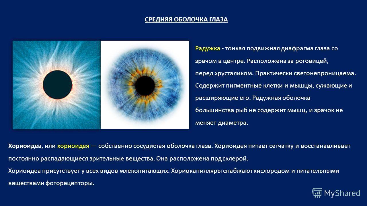 СРЕДНЯЯ ОБОЛОЧКА ГЛАЗА Радужка - тонкая подвижная диафрагма глаза со зрачом в центре. Расположена за роговицей, перед хрусталиком. Практически светонепроницаема. Содержит пигментные клетки и мышцы, сужающие и расширяющие его. Радужная оболочка больши