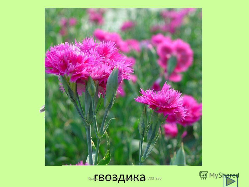 гвоздика Кравцова Елена Николаевна, 235-703-920