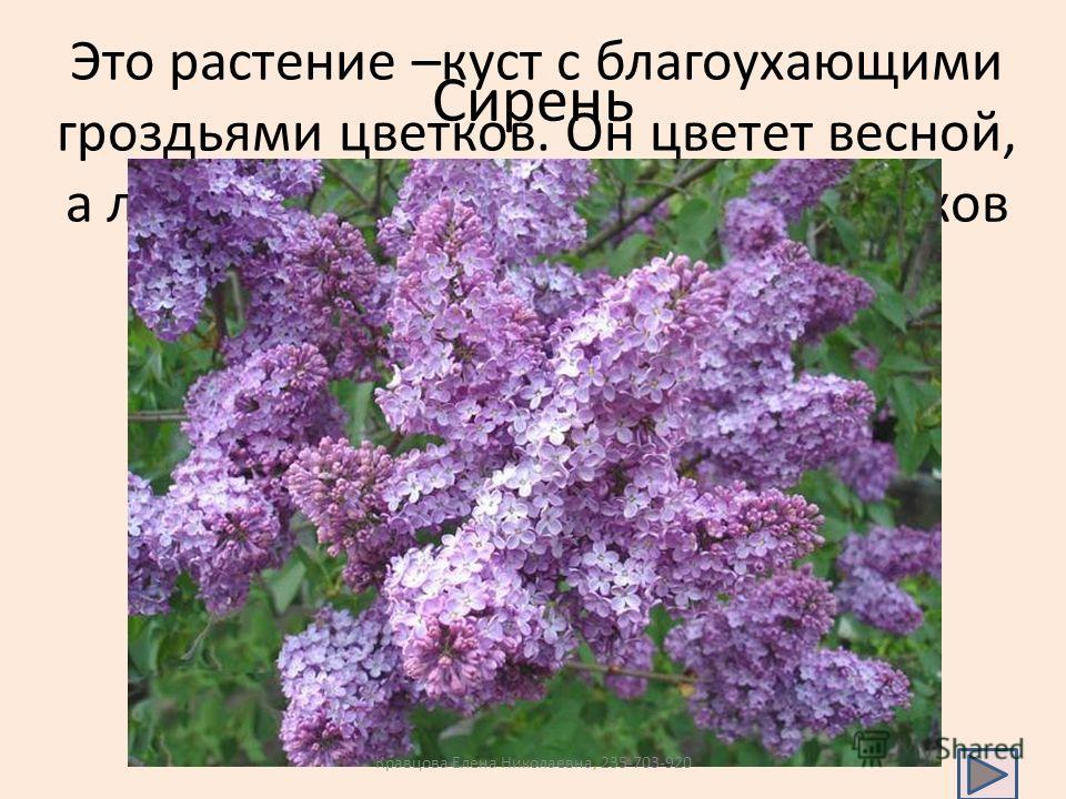 Это растение –куст с благоухающими гроздьями цветков. Он цветет весной, а летом цветки бывают всех оттенков от белого до темно-сиреневого Сирень Кравцова Елена Николаевна, 235-703-920
