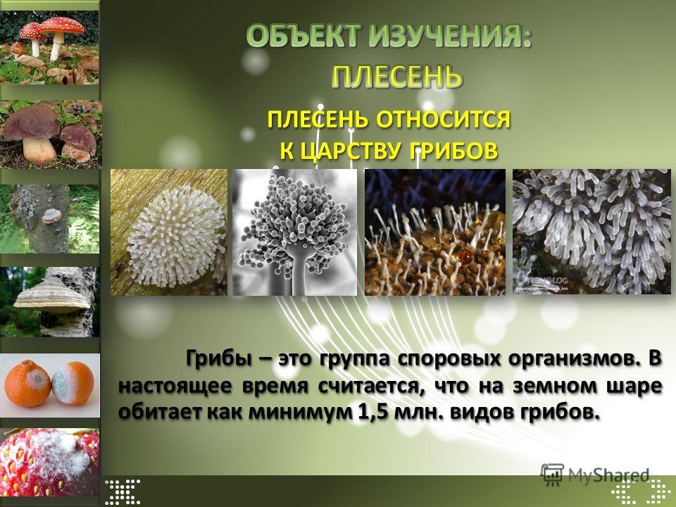 ПЛЕСЕНЬ ОТНОСИТСЯ К ЦАРСТВУ ГРИБОВ Грибы – это группа споровых организмов. В настоящее время считается, что на земном шаре обитает как минимум 1,5 млн. видов грибов.