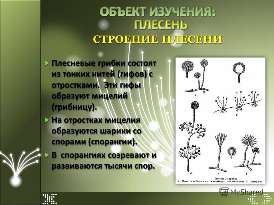 Плесневые грибки состоят из тонких нитей (гифов) с отростками. Эти гифы образуют мицелий (грибницу). Плесневые грибки состоят из тонких нитей (гифов) с отростками. Эти гифы образуют мицелий (грибницу). На отростках мицелия образуются шарики со спорам
