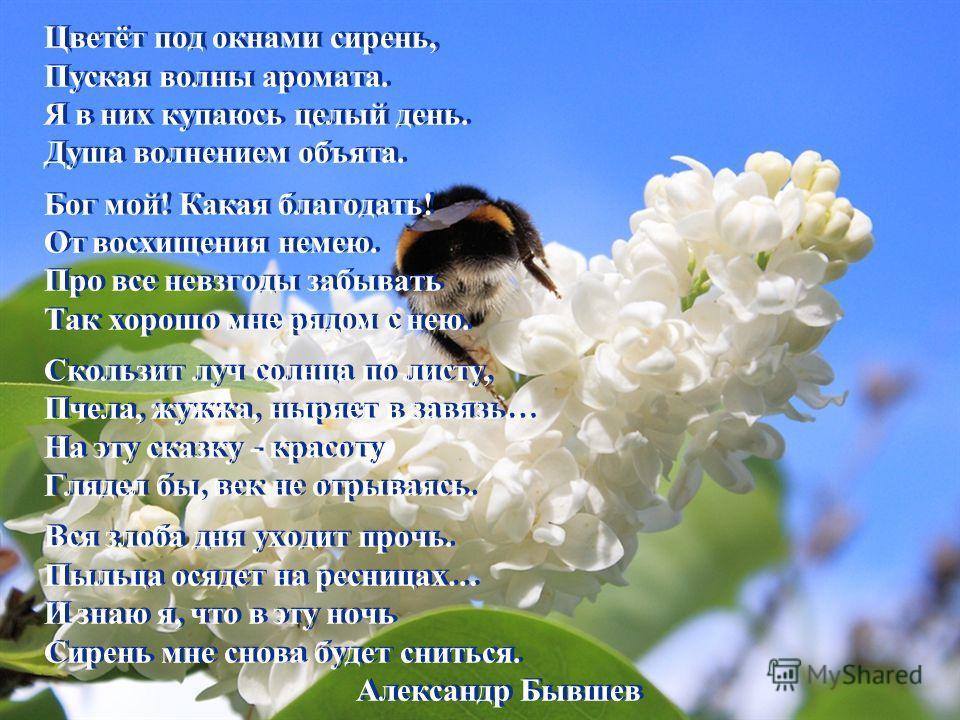 Цветёт под окнами сирень, Пуская волны аромата. Я в них купаюсь целый день. Душа волнением объята. Бог мой! Какая благодать! От восхищения немею. Про все невзгоды забывать Так хорошо мне рядом с нею. Скользит луч солнца по листу, Пчела, жужжа, ныряет