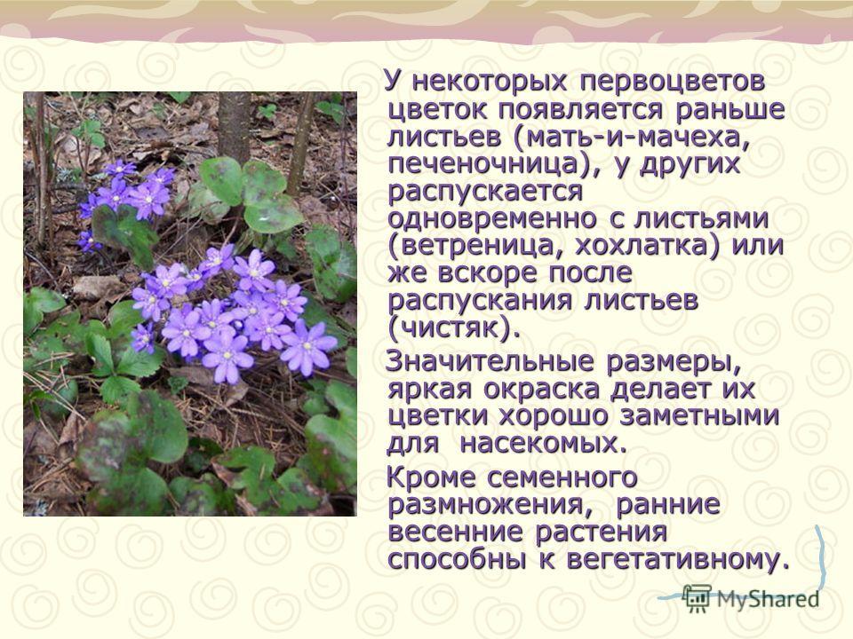 У некоторых первоцветов цветок появляется раньше листьев (мать-и-мачеха, печеночница), у других распускается одновременно с листьями (ветреница, хохлатка) или же вскоре после распускания листьев (чистяк). Значительные размеры, яркая окраска делает их