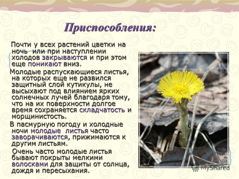 Приспособления: Почти у всех растений цветки на ночь или при наступлении холодов закрываются и при этом еще поникают вниз. Молодые распускающиеся листья, на которых еще не развился защитный слой кутикулы, не высыхают под влиянием ярких солнечных луче