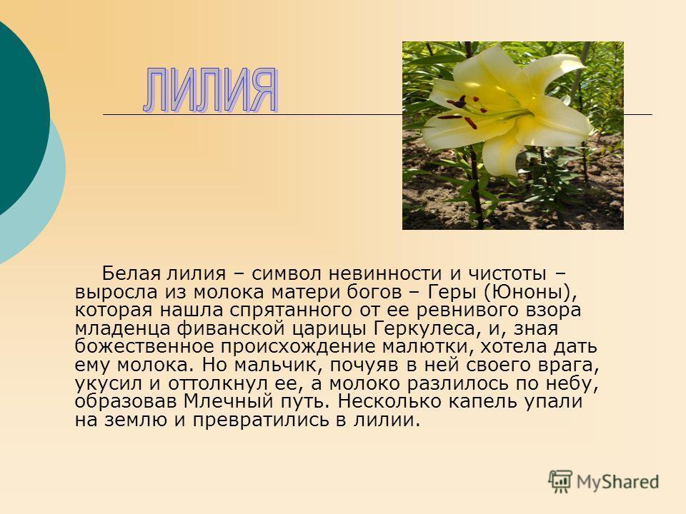 Белая лилия – символ невинности и чистоты – выросла из молока матери богов – Геры (Юноны), которая нашла спрятанного от ее ревнивого взора младенца фиванской царицы Геркулеса, и, зная божественное происхождение малютки, хотела дать ему молока. Но мал