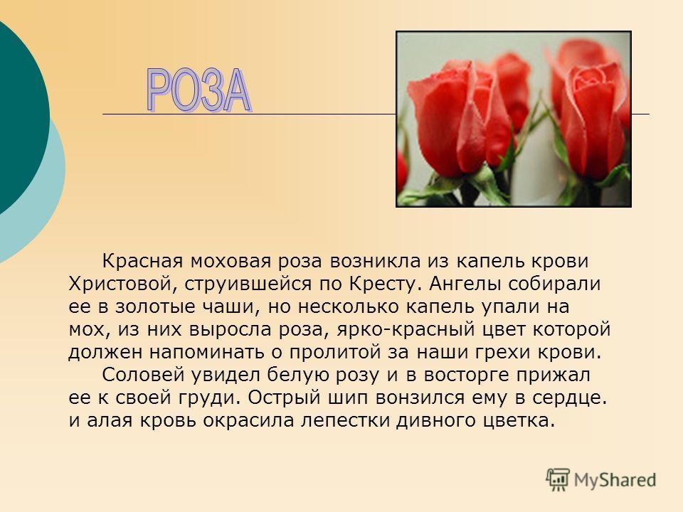 Красная моховая роза возникла из капель крови Христовой, струившейся по Кресту. Ангелы собирали ее в золотые чаши, но несколько капель упали на мох, из них выросла роза, ярко-красный цвет которой должен напоминать о пролитой за наши грехи крови. Соло