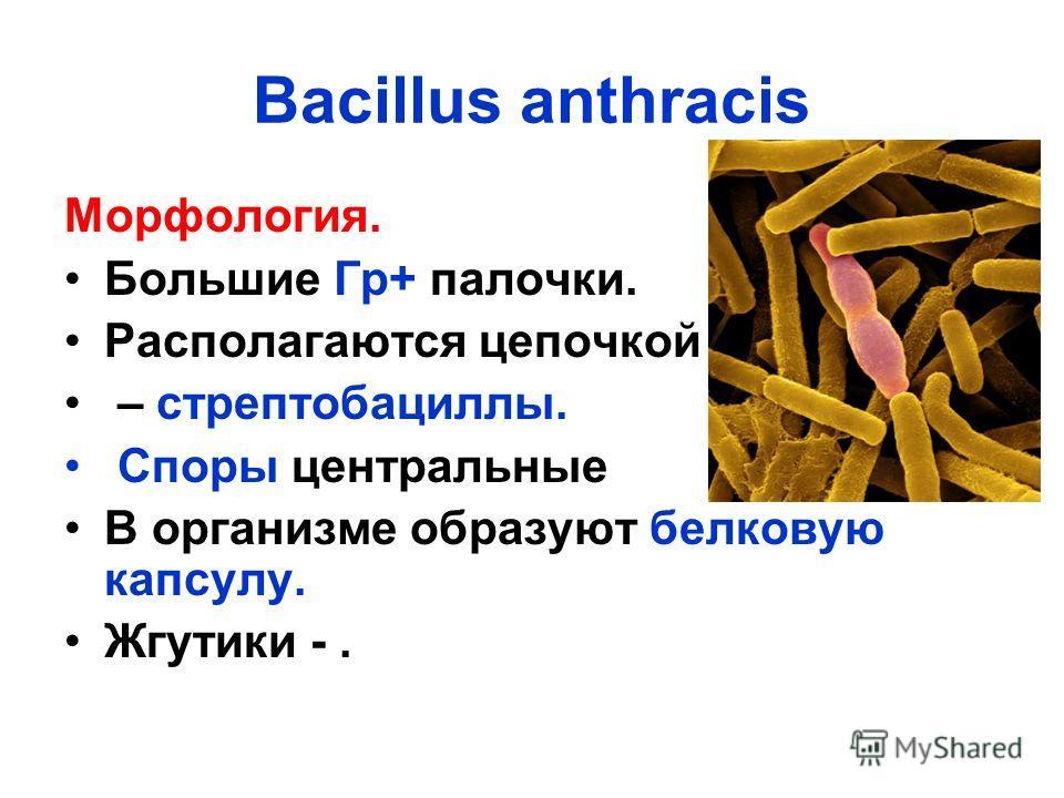 Bacillus anthracis Морфология. Большие Гр+ палочки. Располагаются цепочкой – стрептобациллы. Споры центральные В организме образуют белковую капсулу. Жгутики -.