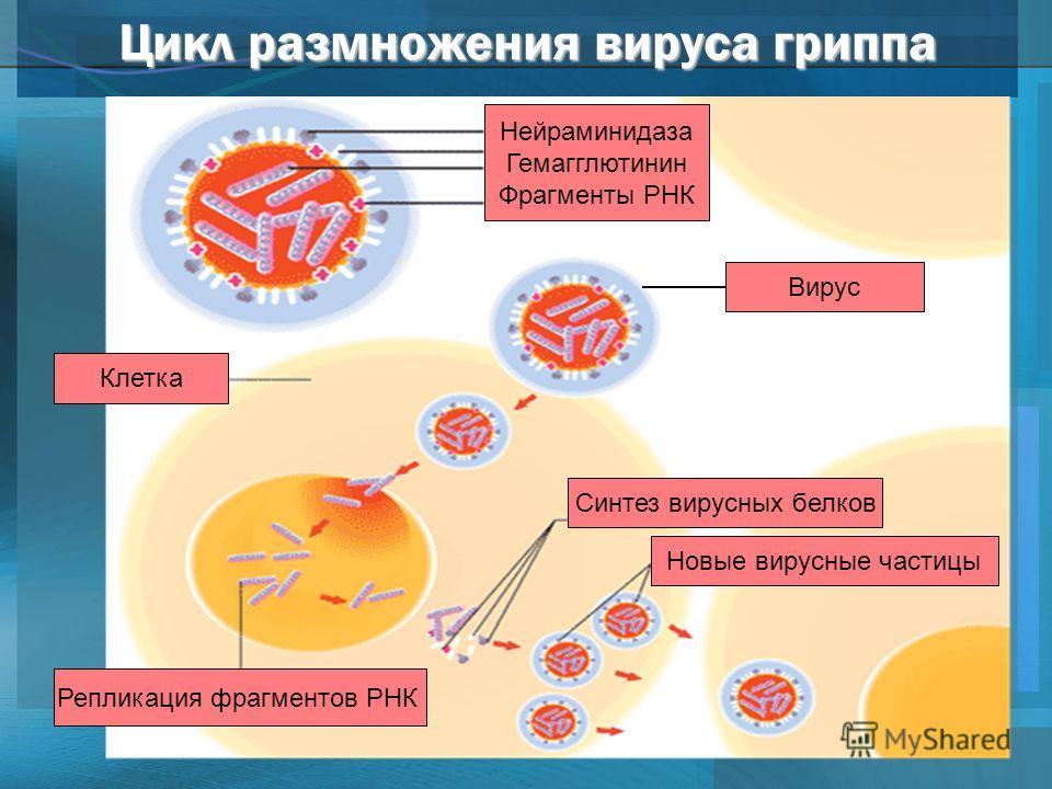 Цикл размножения вируса гриппа Новые вирусные частицы Синтез вирусных белков Репликация фрагментов РНК Клетка Нейраминидаза Гемагглютинин Фрагменты РНК Вирус