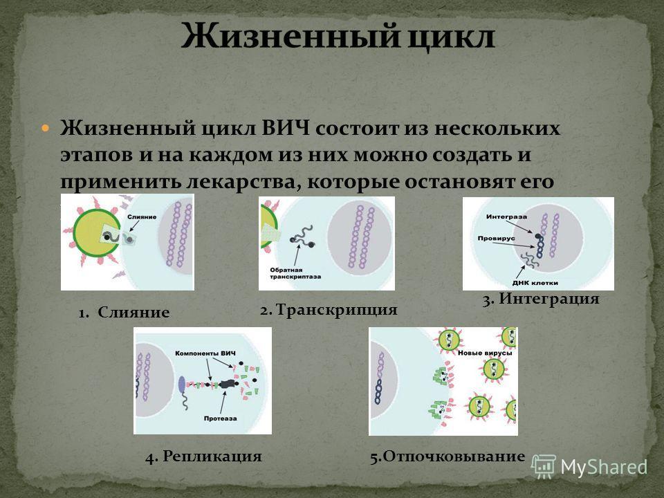 Жизненный цикл ВИЧ состоит из нескольких этапов и на каждом из них можно создать и применить лекарства, которые остановят его развитие. 1. Слияние 2. Транскрипция 3. Интеграция 4. Репликация 5.Отпочковывание