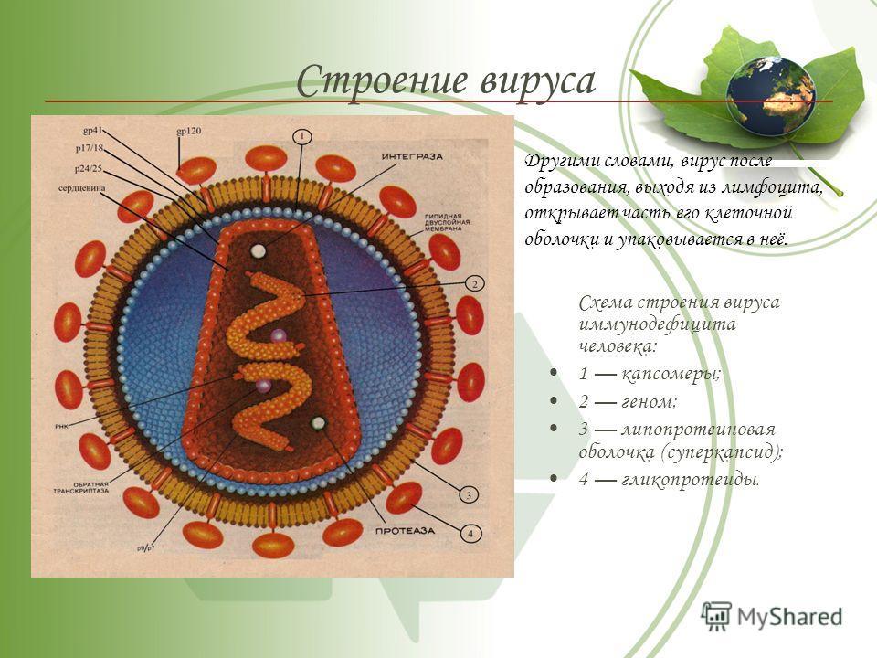 Строение вируса Схема строения вируса иммунодефицита человека: 1 капсомеры; 2 геном; 3 липопротеиновая оболочка (суперкапсид); 4 гликопротеиды. Другими словами, вирус после образования, выходя из лимфоцита, открывает часть его клеточной оболочки и уп