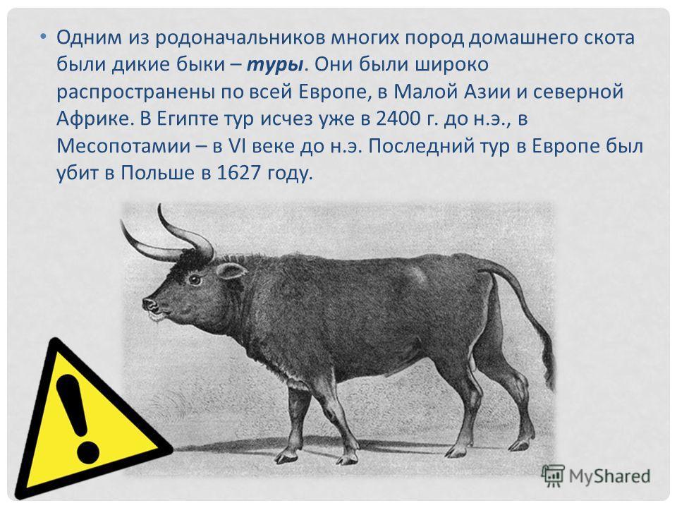 Одним из родоначальников многих пород домашнего скота были дикие быки – туры. Они были широко распространены по всей Европе, в Малой Азии и северной Африке. В Египте тур исчез уже в 2400 г. до н.э., в Месопотамии – в VI веке до н.э. Последний тур в Е