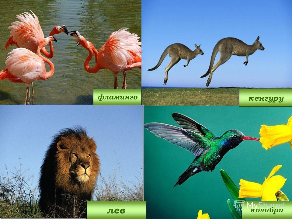 фламинго колибри лев кенгуру