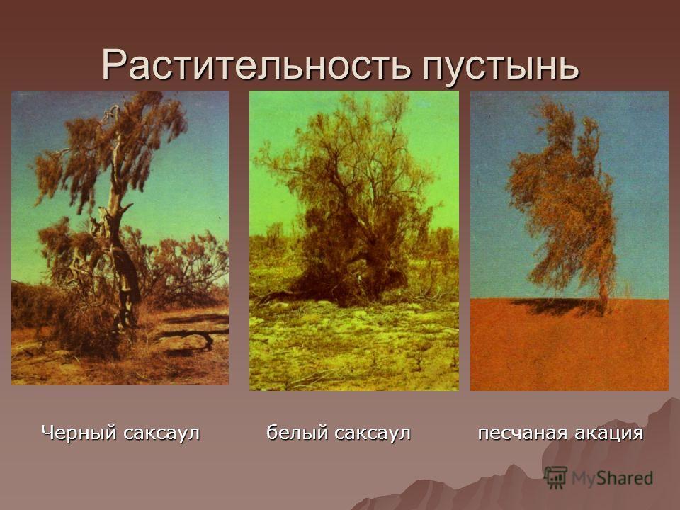 Растительность пустынь Черный саксаул белый саксаул песчаная акация