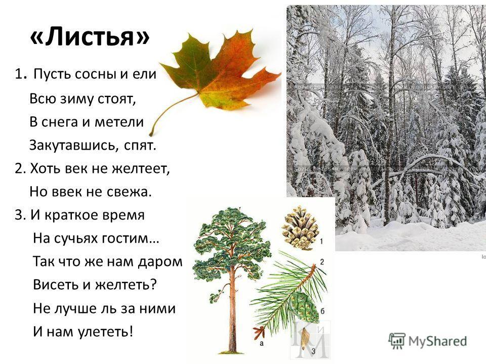«Листья» 1. Пусть сосны и ели Всю зиму стоят, В снега и метели Закутавшись, спят. 2. Хоть век не желтеет, Но ввек не свежа. 3. И краткое время На сучьях гостим… Так что же нам даром Висеть и желтеть? Не лучше ль за ними И нам улететь!