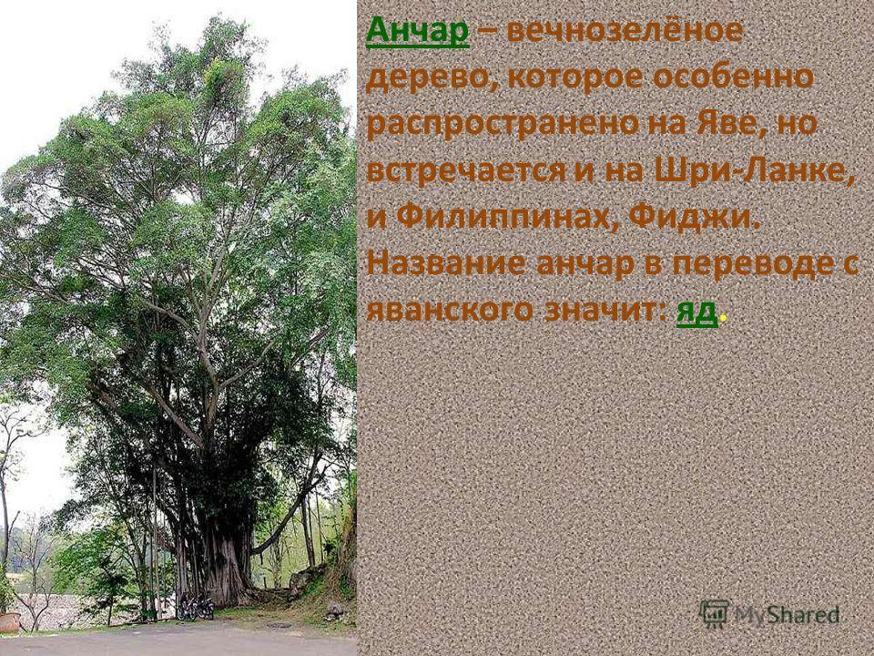Анчар – вечнозелёное дерево, которое особенно распространено на Яве, но встречается и на Шри-Ланке, и Филиппинах, Фиджи. Название анчар в переводе с яванского значит: яд.