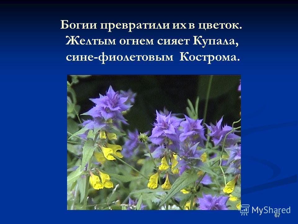 67 Богии превратили их в цветок. Желтым огнем сияет Купала, сине-фиолетовым Кострома.
