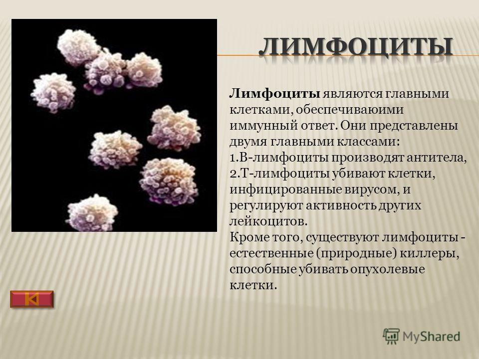 Лимфоциты являются главными клетками, обеспечивающими иммунный ответ. Они представлены двумя главными классами: 1.B-лимфоциты производят антитела, 2.T-лимфоциты убивают клетки, инфицированные вирусом, и регулируют активность других лейкоцитов. Кроме