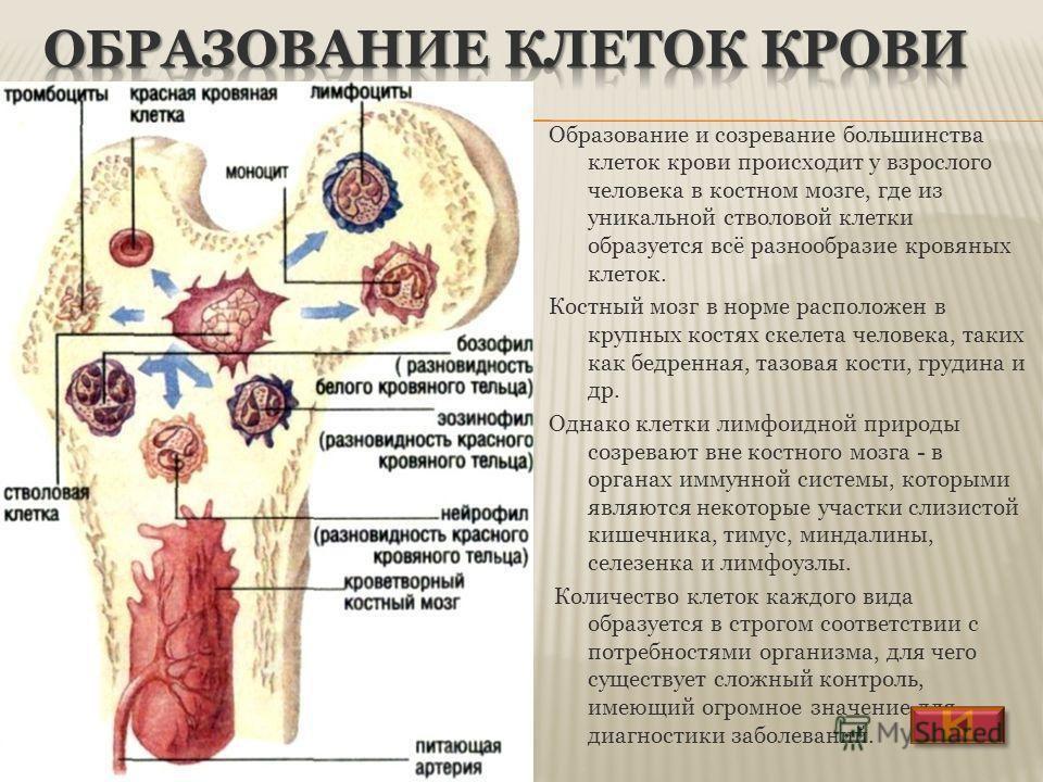 Образование и созревание большинства клеток крови происходит у взрослого человека в костном мозге, где из уникальной стволовой клетки образуется всё разнообразие кровяных клеток. Костный мозг в норме расположен в крупных костях скелета человека, таки