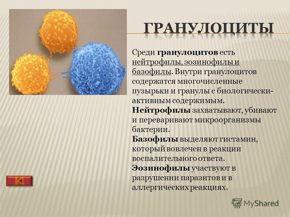 Гранулоцит Эозинофильный