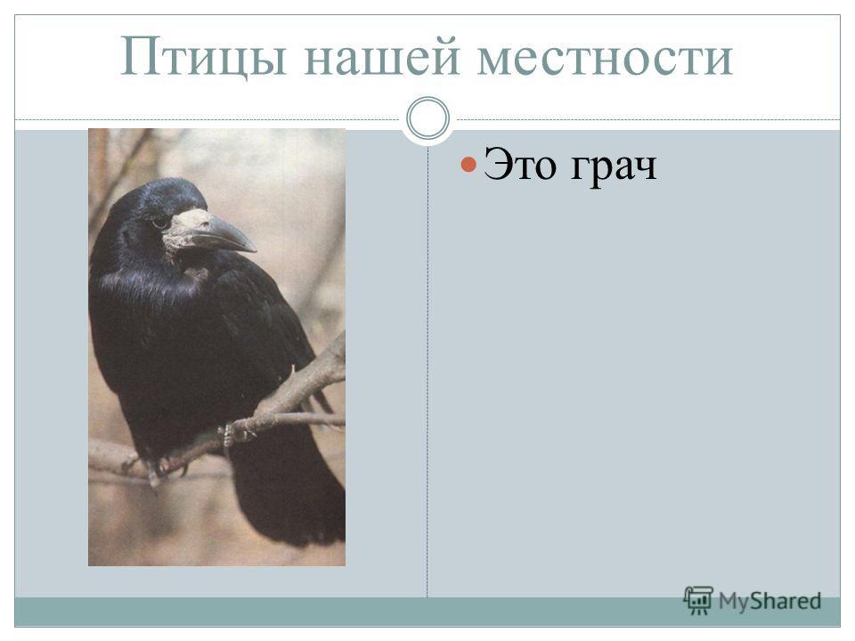 Птицы нашей местности Это грач