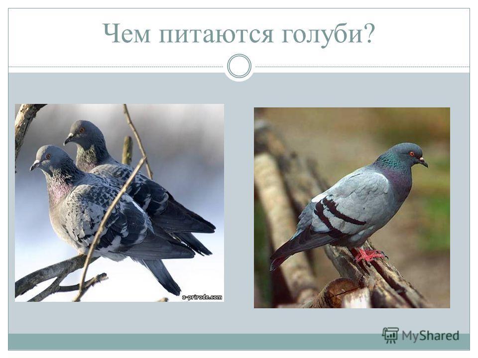 Чем питаются голуби?