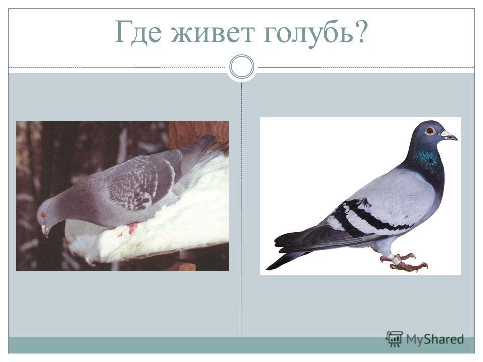 Где живет голубь?