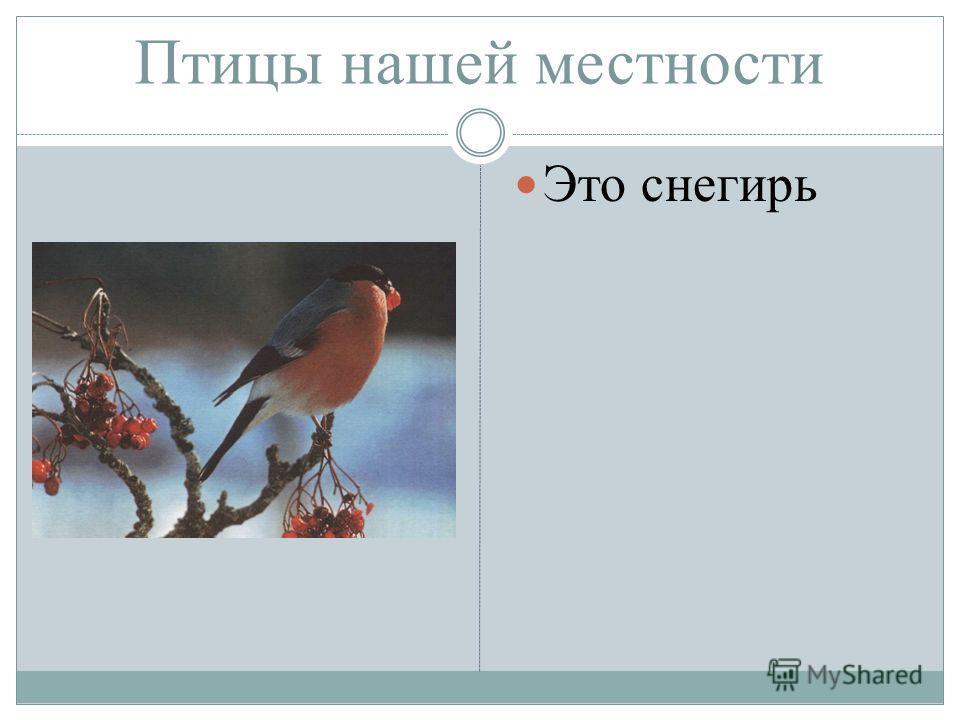 Птицы нашей местности Это снегирь