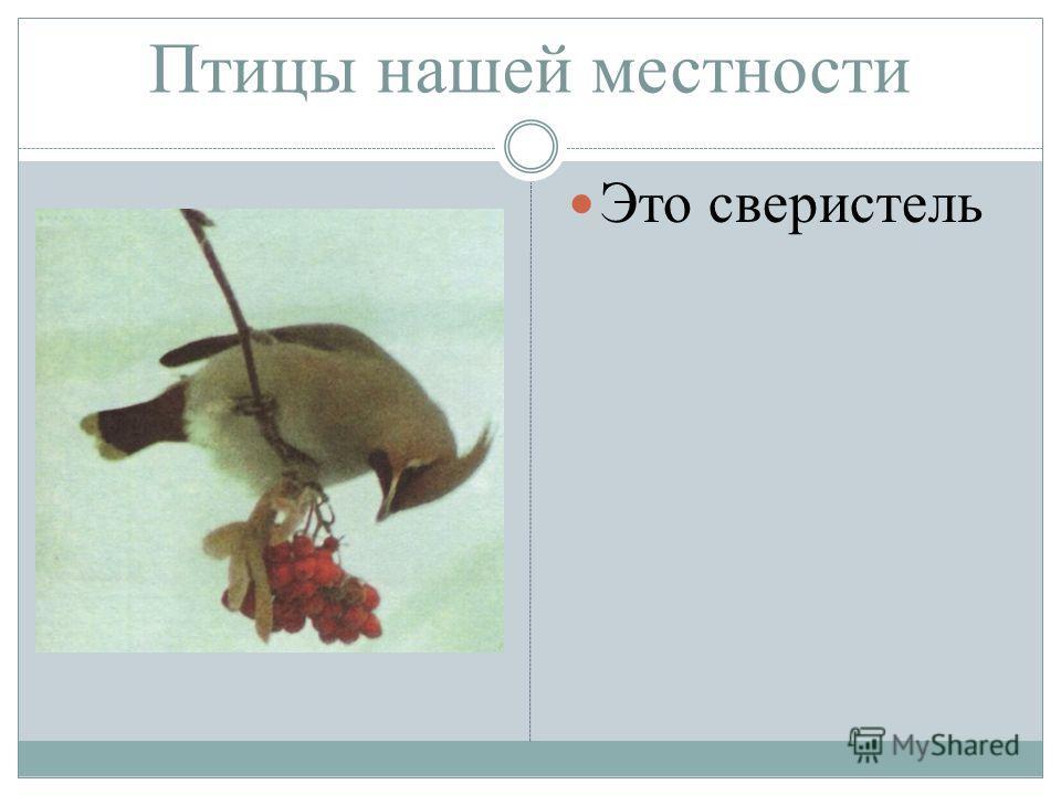 Птицы нашей местности Это свиристель