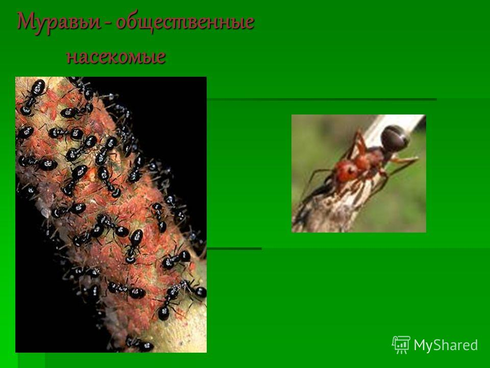 Муравьи - общественные насекомые